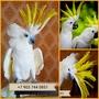 Желтохохлый какаду  (cacatua galerita) - ручные птенцы из питомников
