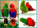 Благородный попугай (Eclectus roratus) - ручные птенцы из питомников