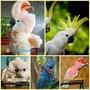 Какаду - ручные птенцы из питомников  Европы